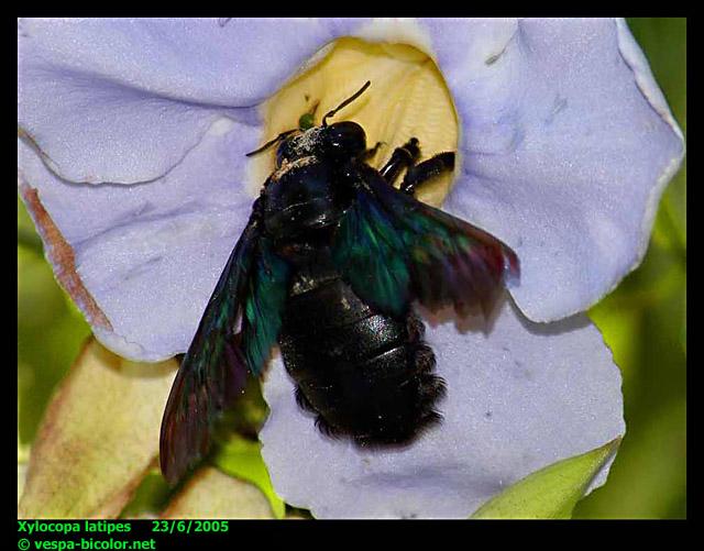 Giant black wasps