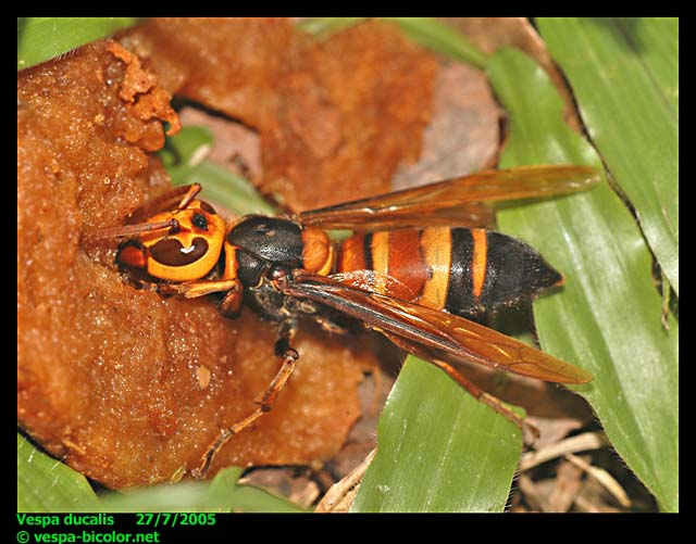 Bộ sưu tập côn trùng 2 - Page 16 Vespa-ducalis1